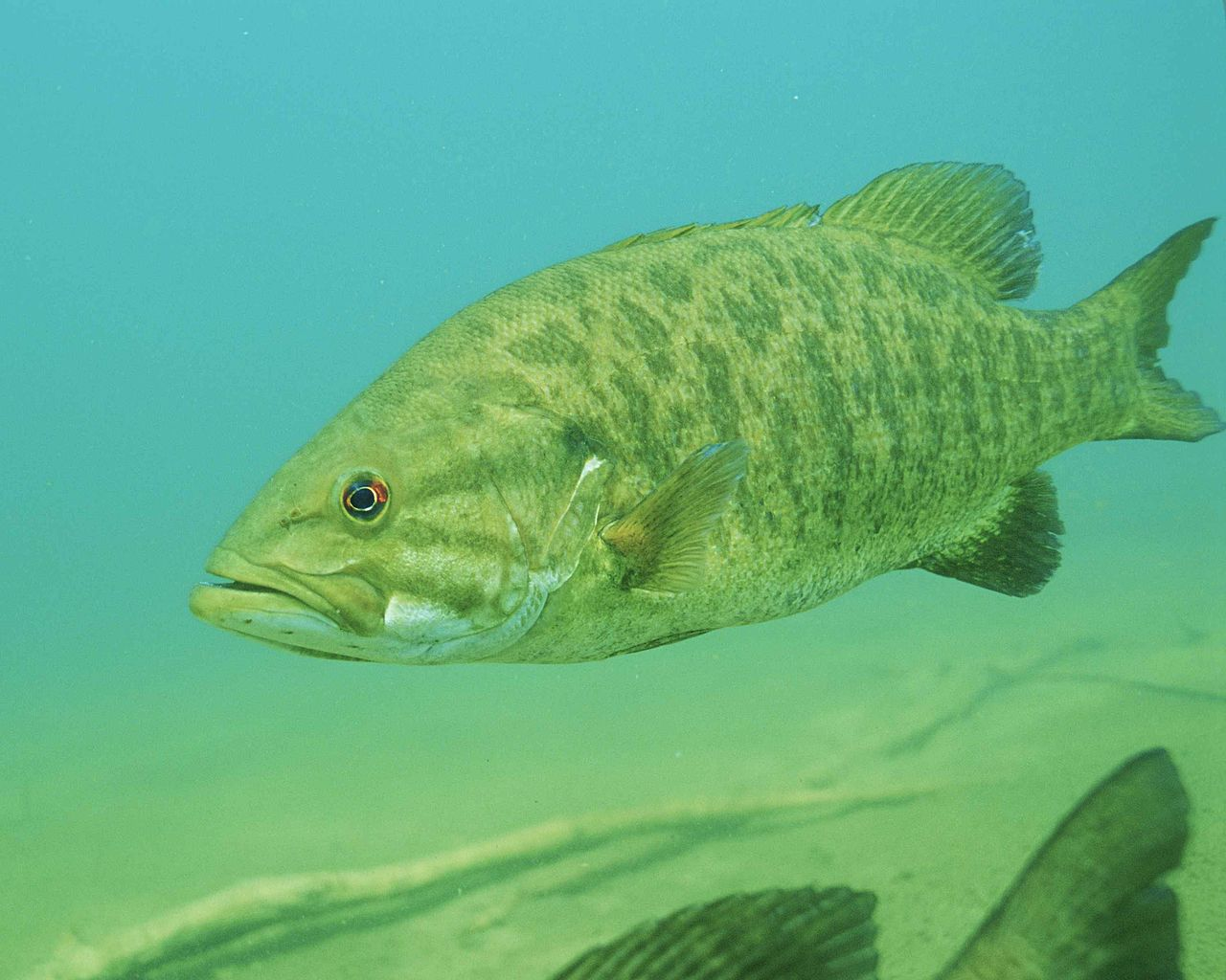 Smallmouth bass.